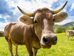 cow 290x220 - 唔用Blockchain唔用Smart Contract 政府打擊黃牛有什麼新方法?